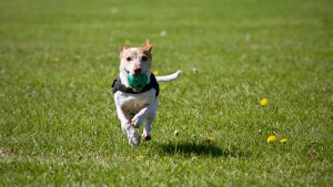 A dog running on a green grass, holding a green rubber toy in his mouth.