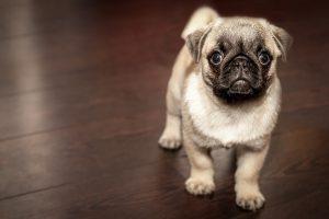 A small pug