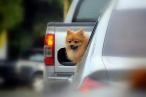 Dog looking out from a car