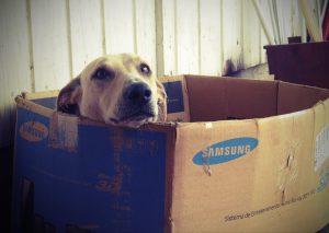 Dog sitting in a Samsung box.
