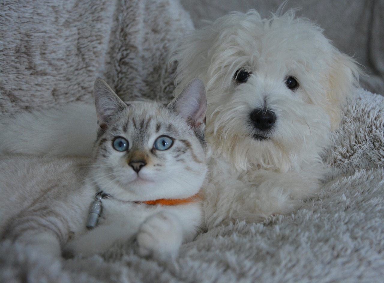 A white dog and a white cat lying together