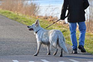 Man walking a white dog