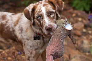 A dog carrying a ripped toy in its mouth. Bring a piece of your old home with you to help your pet adjust to NYC.